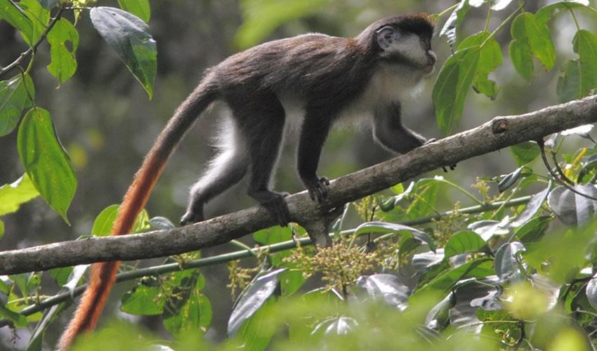 Red-tailed Monkeys In Uganda