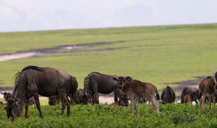 4 Days Serengeti Ngorongoro Tanzania Wildlife Safari