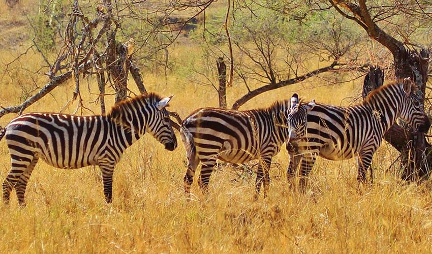 12 Days Serengeti National Park Tanzania Wildlife Safari