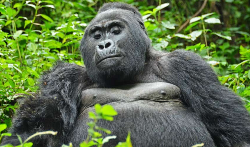 4 Days Gorilla Trekking Safari Bwindi