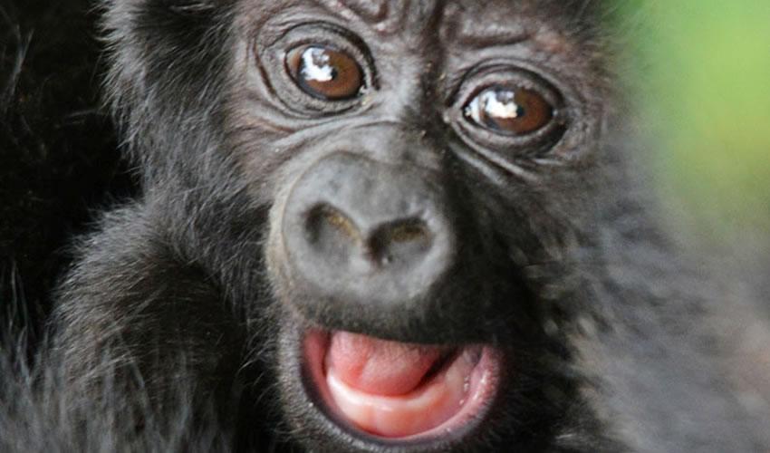 19 Days Gorilla Trekking Safari in Uganda and Rwanda