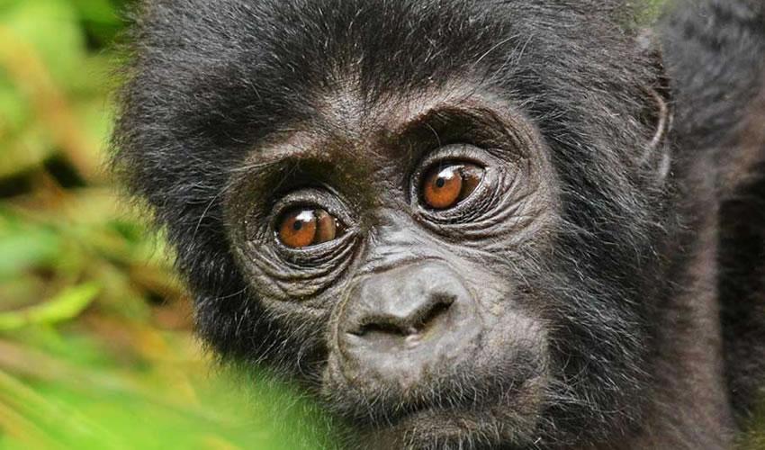 Gorilla Trekking Tour Bwindi
