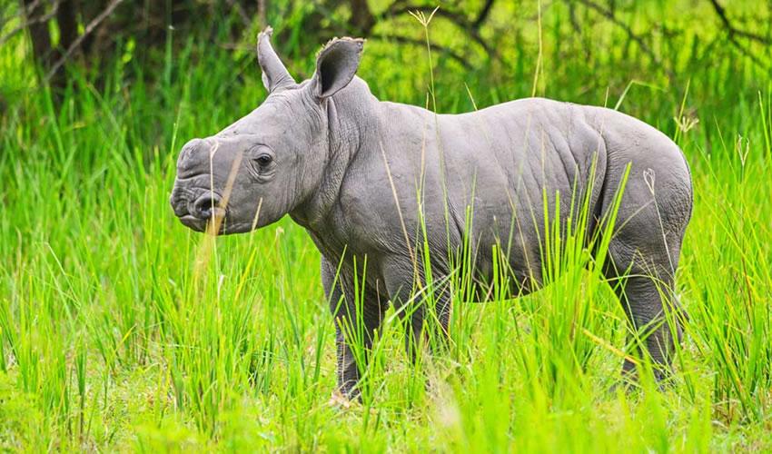 baby rhino at Ziwa Rhino Sanctuary