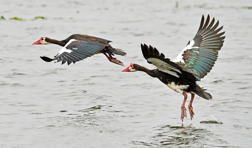 12 Days Uganda Birding Tour