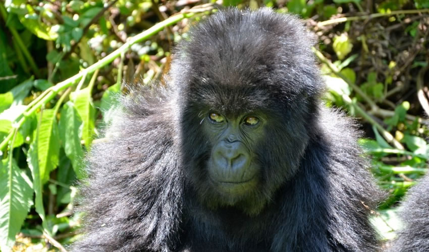 Mountain Gorilla Families In Bwindi Impenetrable Forest