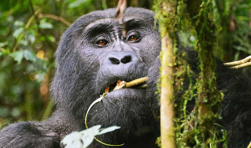 3 Days Gorilla Habituation Experience Rushaga Bwindi