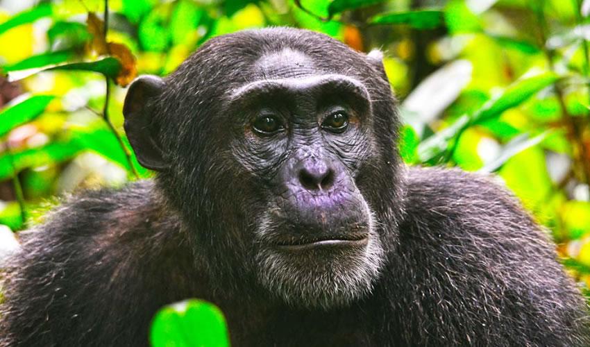 3 Days Chimpanzee Trekking Safari in Kibale