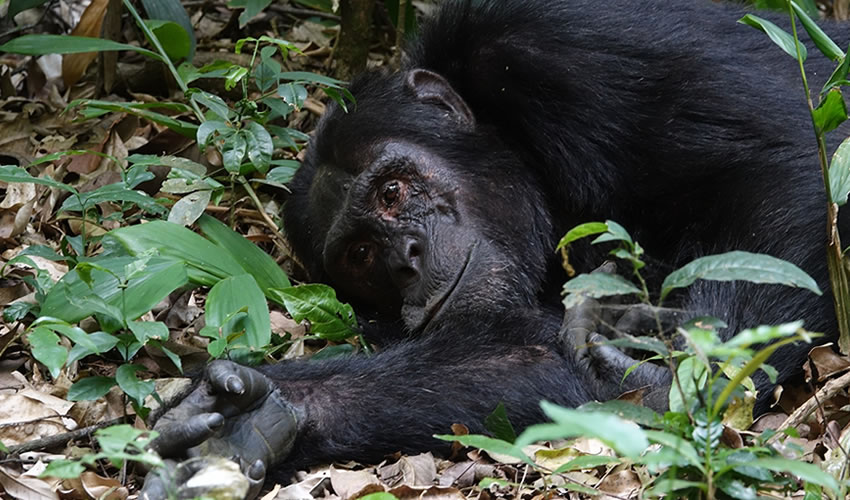 5 Days Chimpanzee Tracking in Nyungwe Forest National Park