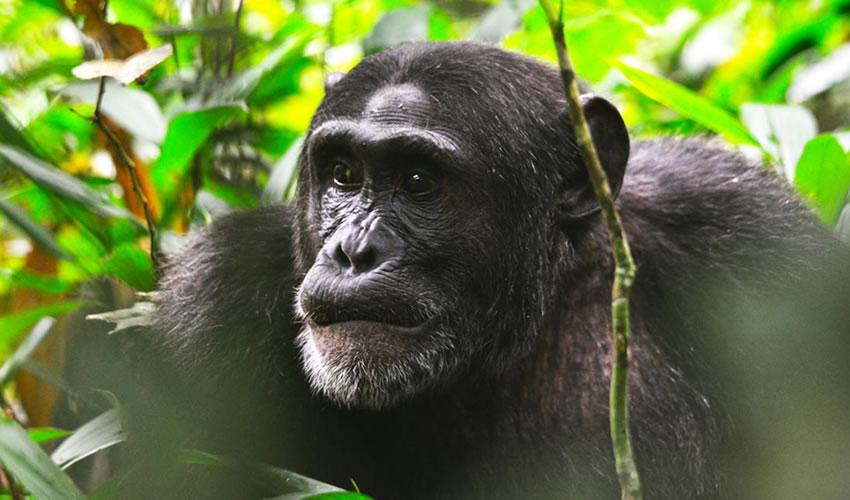 9 Days Uganda Rwanda Gorillas and Chimps Tracking Safari