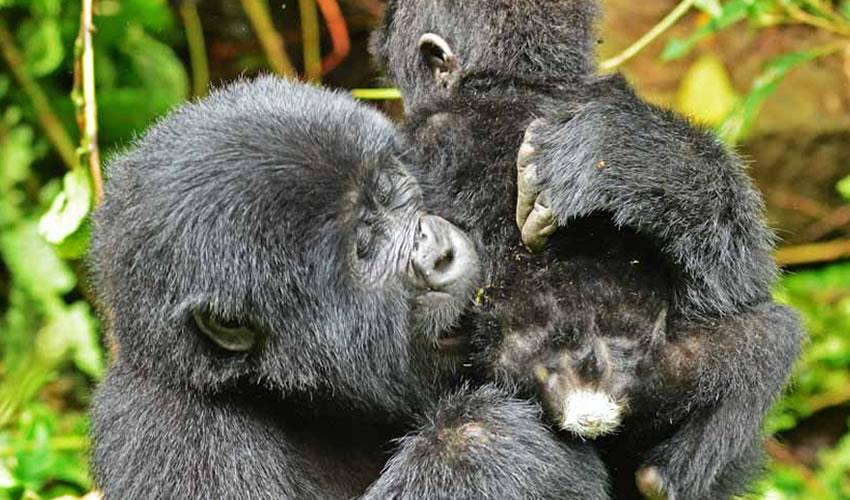 6 Days Uganda Rwanda Gorilla Trekking Safari
