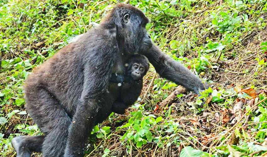 5 Days Gorilla Trekking in Bwindi