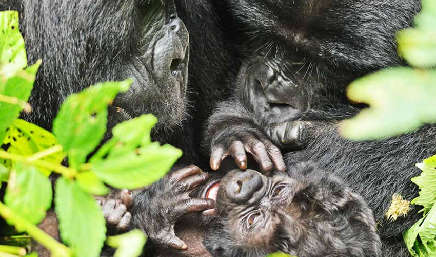 5 Days Double Gorilla Trekking Safari
