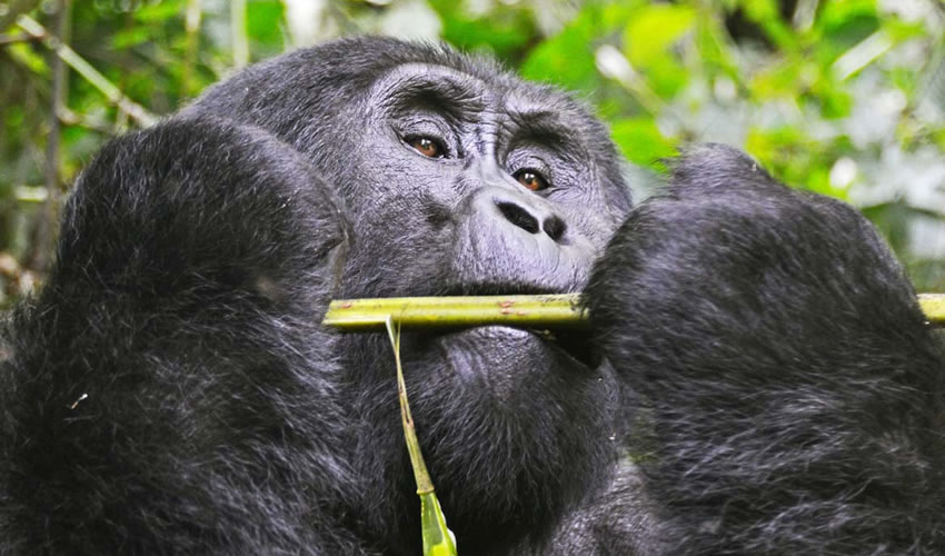 13 Days Group Gorilla Safari to Uganda