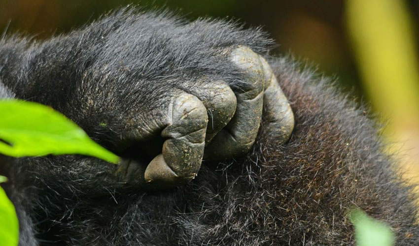 13 Days Bwindi Gorilla Tracking Safari