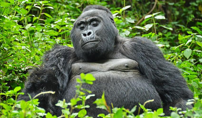 Uganda Primate Tracking Safari Experience