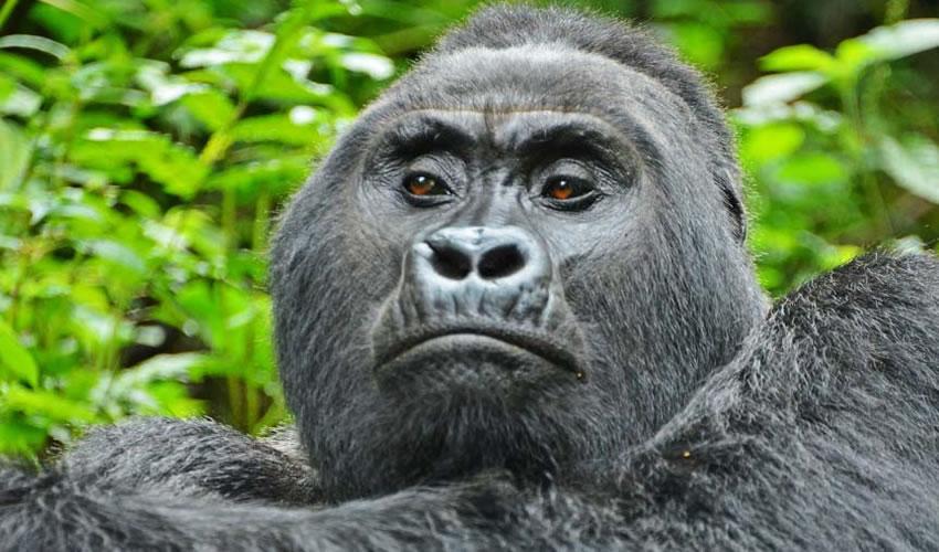 3 Days Gorilla Trekking Uganda Safari