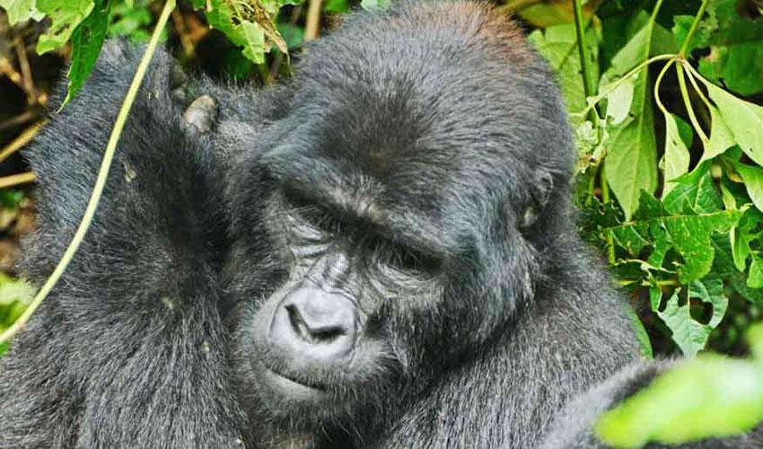 12 Days Gorillas and Chimpanzee Tracking Safari in Uganda and Rwanda