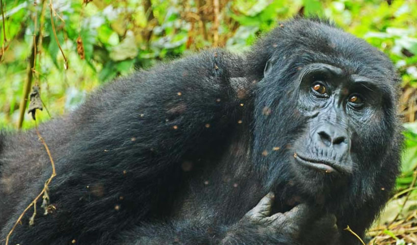 6 Days Bwindi Gorilla Trekking Safari