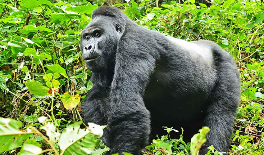 Gorilla Trekking In Volcanoes National Park Rwanda