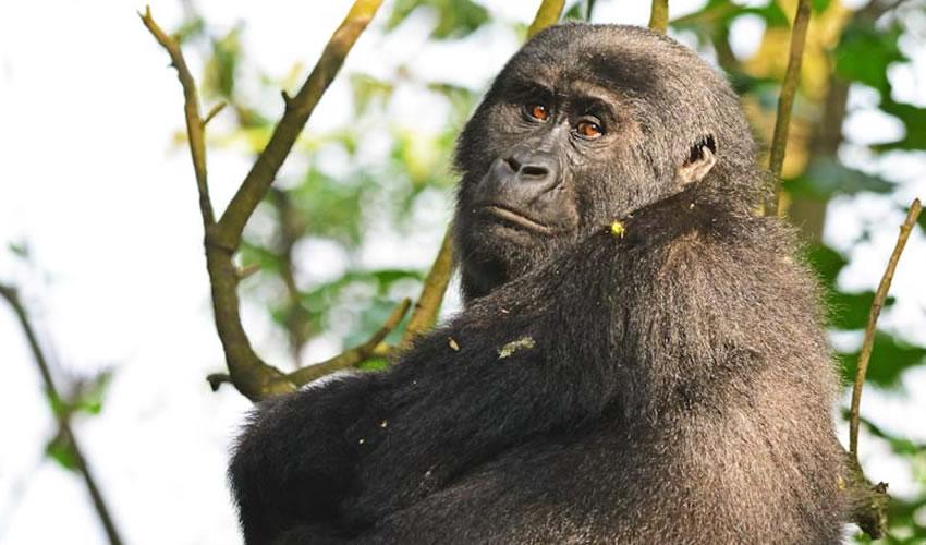 24 Days Uganda Rwanda Combined Gorilla Trekking Safari