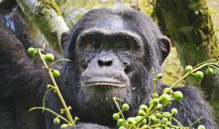 3 Days Chimpanzee Tracking Kibale