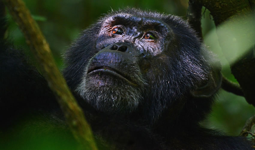 5 Days Uganda Chimpanzee Gorilla Habituation Safari