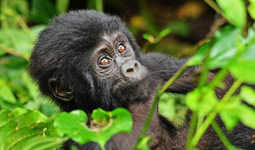 3 Days Gorilla Trekking Uganda Via Rwanda