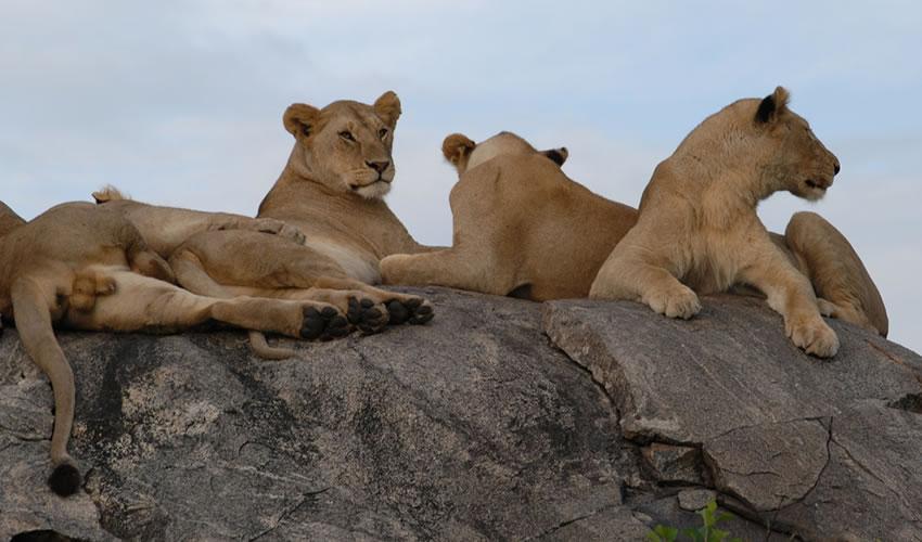 5 Days Tarangire Ngorongoro Serengeti Tanzania Wildlife Tour