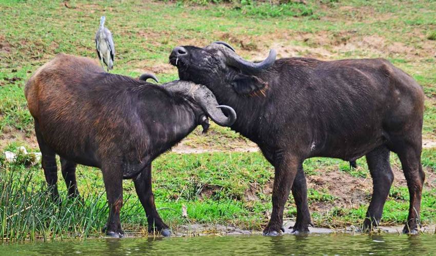 14 Days Wildlife Tour in Uganda