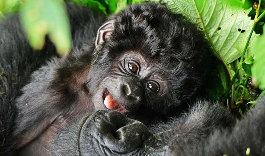 12 Days Gorilla Trekking Safari in Uganda and Rwanda
