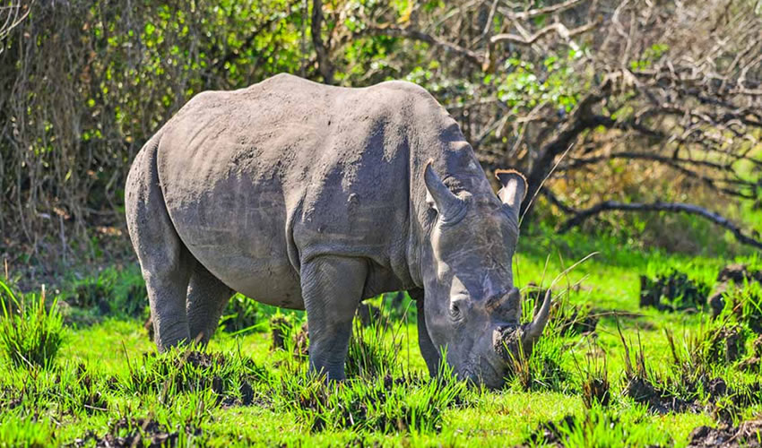 Ziwa Rhino Sanctuary | A Safe Haven For Rhinos In Uganda.