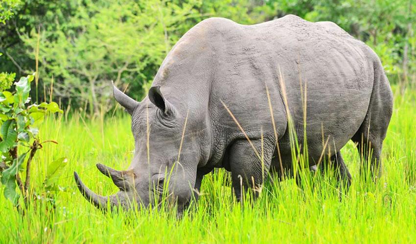 tracking rhinos at Ziwa