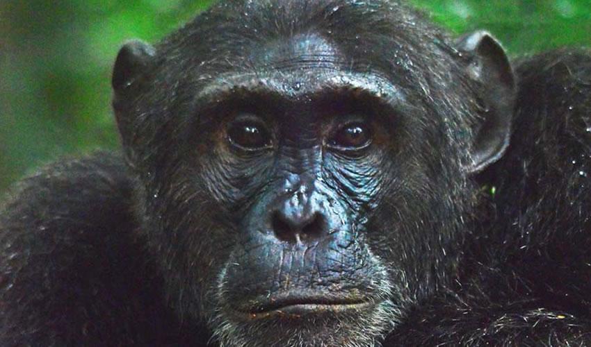 14 Days Combined Uganda Rwanda Primate Tracking Tour