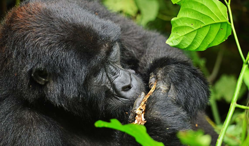 4 Days Gorilla Tracking Bwindi