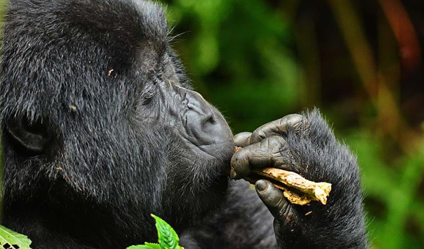11 Practical Tips For Planning A Gorilla Trekking Safari