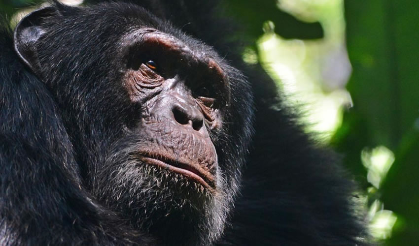 6 Days Kibale Chimpanzee Trekking Safari