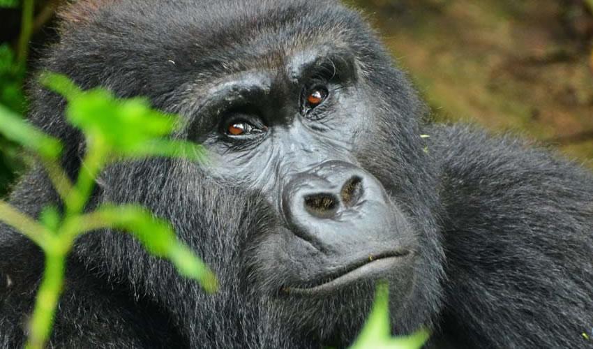 10 Days Uganda Rwanda Gorilla Trekking Safari