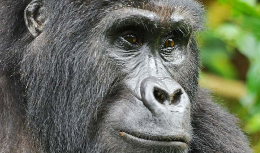 8 Days Bwindi Gorilla Tracking Safari