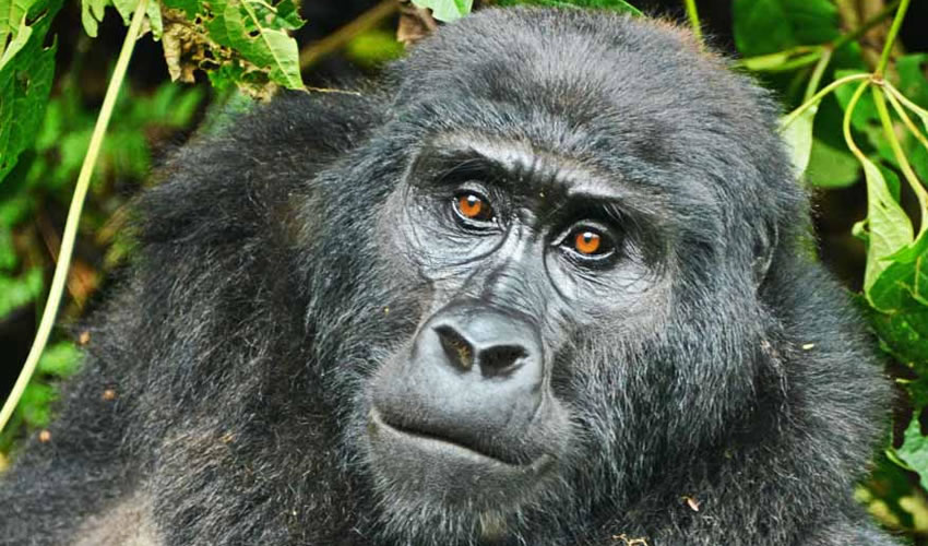 4 Days Gorilla Trekking Bwindi