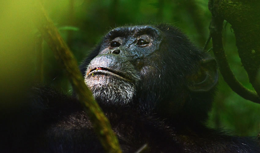 Chimpanzee Trekking Tours in Uganda