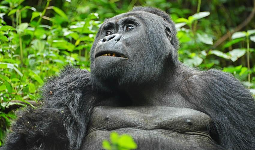 Bwindi gorilla trekking tour
