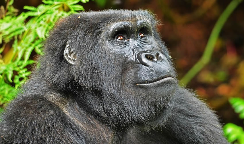 Nyakagezi Gorilla Family in Mgahinga National Park